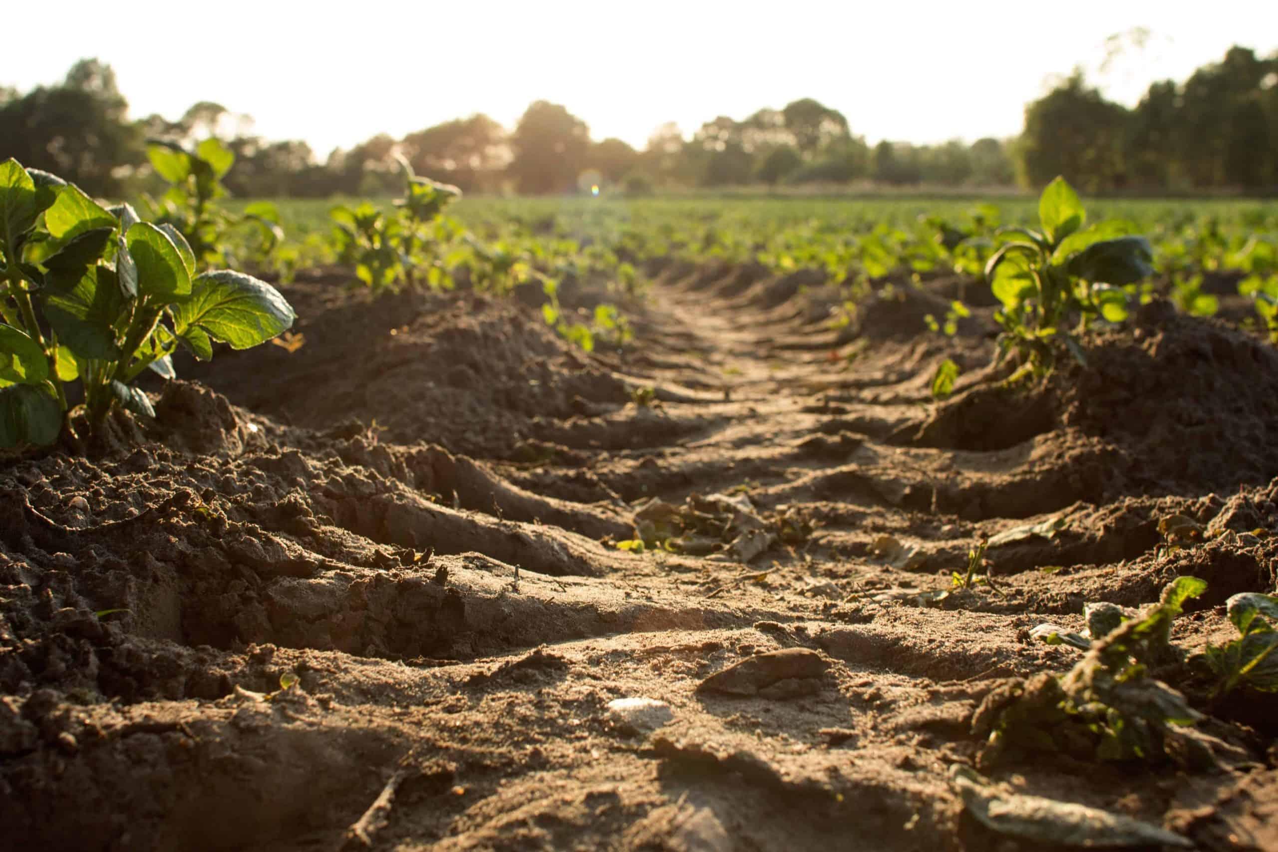 Tilled soil in a field of crops