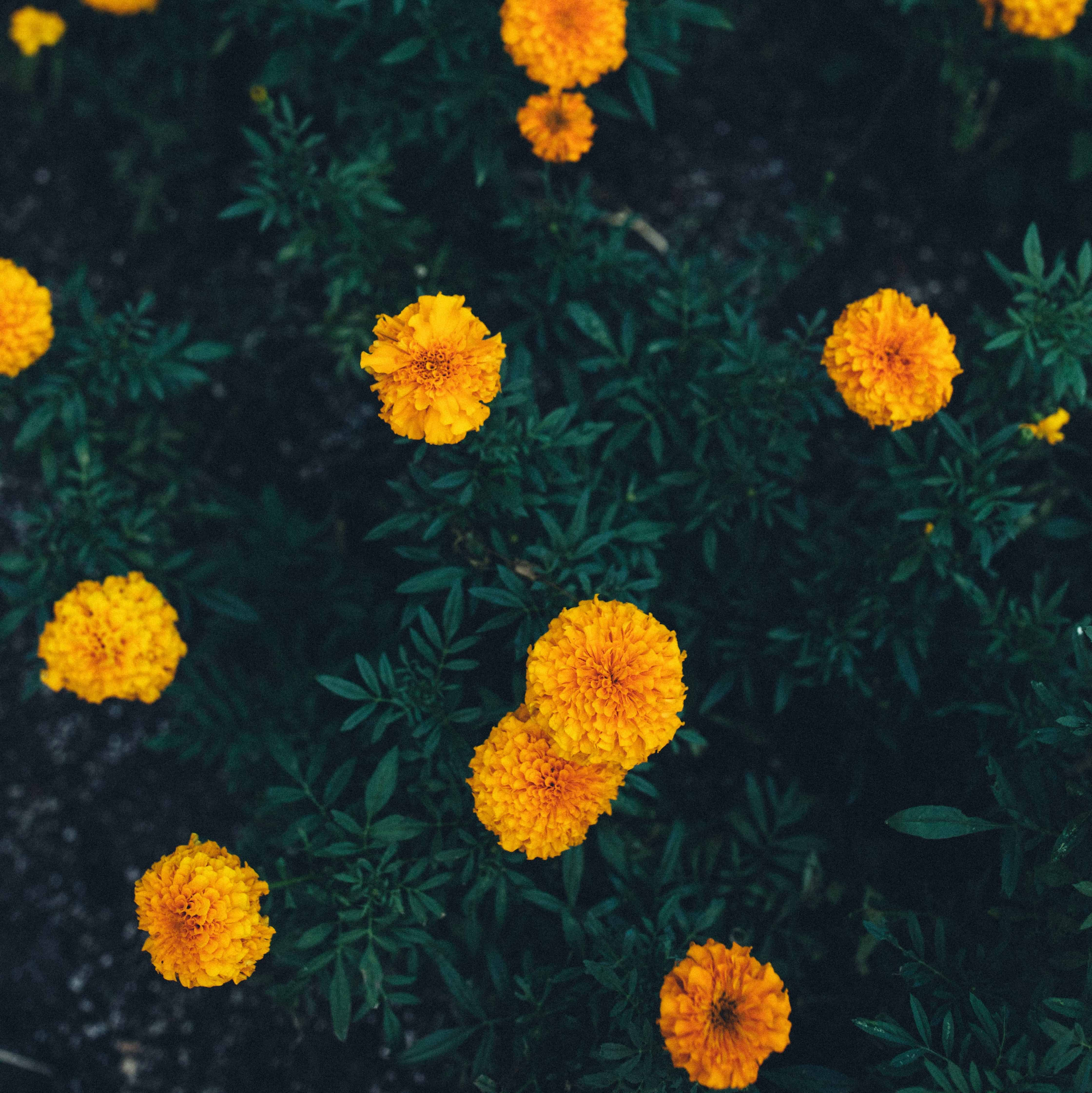 Patch of marigolds